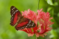Coolie Butterfly, Anartia amathea, Ecuador