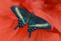 Papilio maacki Butterfly, Japan