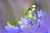 Malachite Butterfly, Florida