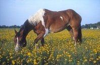 Paint Horse in a Field of Wildflowers