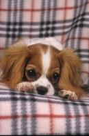 Cavalier King Charles Spaniel Resting on a Plaid Blanket