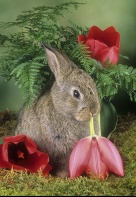 Bunny Eating a Tulip