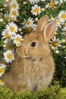 Bunny in Dasies