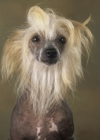 Hairless Chinese Crested Dog Portrait