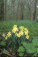 Daffodils in the Woods, Indiana
