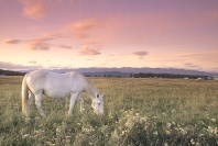 Horse in a Field of Wildflowers at Sunrise, Montana