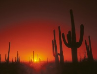 Saguaro Cactus at Sunset, Tucson, Arizona