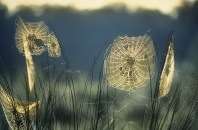 Golden Spider Webs Covered With Dew at Dawn