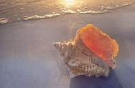 Conch Shell at Sunset, Florida