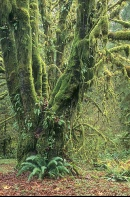 Moss Covered Trees, Hoh Rainforest, Washington