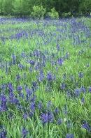Meadow of Camas Flowers, Glacier National Park, Montana