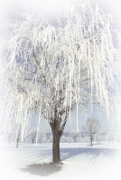 Weeping Willow Tree Covered in Frost, Lafayette, Indiana