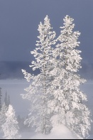 Rime Frost on Pines, West Thumb Geyser Basin, Yellowstone N. Park