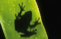 Frog on a Leaf Silhouette