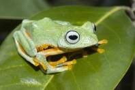 Blue Webbed Flying Frog