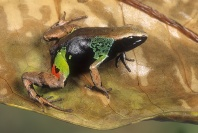 Beautiful Mantella Frog, Madagascar