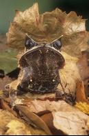 Asian Leaf Frog