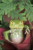 Painted Bellie Monkey Frog, Argentina