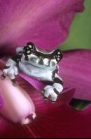 Amazon Milk Tree Frog, Trachycephalus resinifictrix