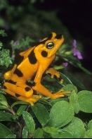 Golden Frog, Atelopus zeteki, Panama