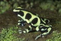 Poison Arrow Frog, Dendrobates auratus, Costa Rica