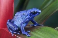 Poison Arrow Frog, Dendrobates azureus, Surinam