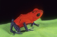 Strawberry Poison Arrow Frog, Dendrobates pumilio, Costa Rica