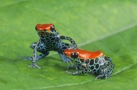 Poison Arrow Frogs, Dendrobates reticulatus, Peru