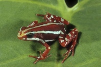 Phantasmal Poison Arrow Frog, Epitedobates tricolor, West Ecuador