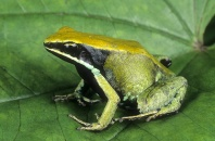 Green Mantella Frog, Mantella viridis, Madagascar