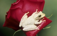 Cuban Tree Frog, White Coloration, Florida