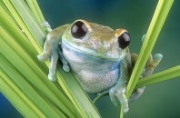 Blue Tree Frog on Reeds, Tanzania, Africa