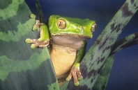 Giant Monkey Frog, Phyllomedusa bicolor, Amazon Peru