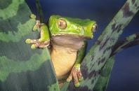 Giant Monkey Frog, Phyllomedusa bicolor, Amazon Peru