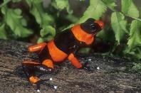 Poison Arrow Frog, Dendrobates lehmani, Columbia