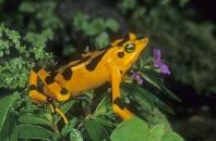 Panama Golden Frog, Atelopus zeteki