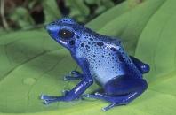 Blue Poison Frog, Dendrobates azureus, Surinam