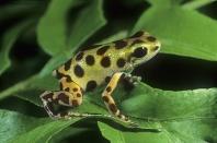 Strawberry Poison Arrow Frog, Dendrobates pumilio, Costa Rica