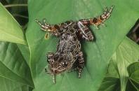 Running Frog, Kassina senegalensis, Africa