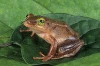 Banana Frog, Afrixalus sp., Tropical Africa