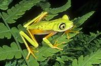 Lemur Leaf Frog, Phyllomedusa lemur, Costa Rica