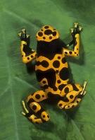 Arrow Poison Frog, Dendrobates luecomelis, Costa Rica