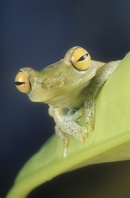 Forest Green Tree Frog, Hyla pellucans, Ecuador