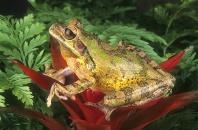 Painted Tree Frog, Smilisca puma, Nicaragua