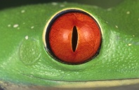 Red Eyed Tree Frog, Detail of Eye, Costa Rica