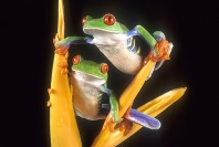Red Eyed Tree Frogs, Costa Rica