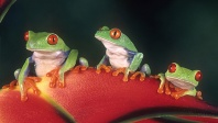 Three Red Eyed Tree Frogs on a Heliconia Plant, Costa Rica