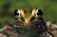Leopard Frog Close Up of Face