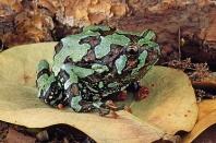 Frog, Madagascar