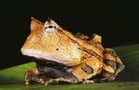 Surinam Horned Frog, Rainforest South America